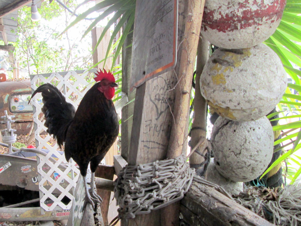 Counting chickens in key west counting my for Key west fish and chicken
