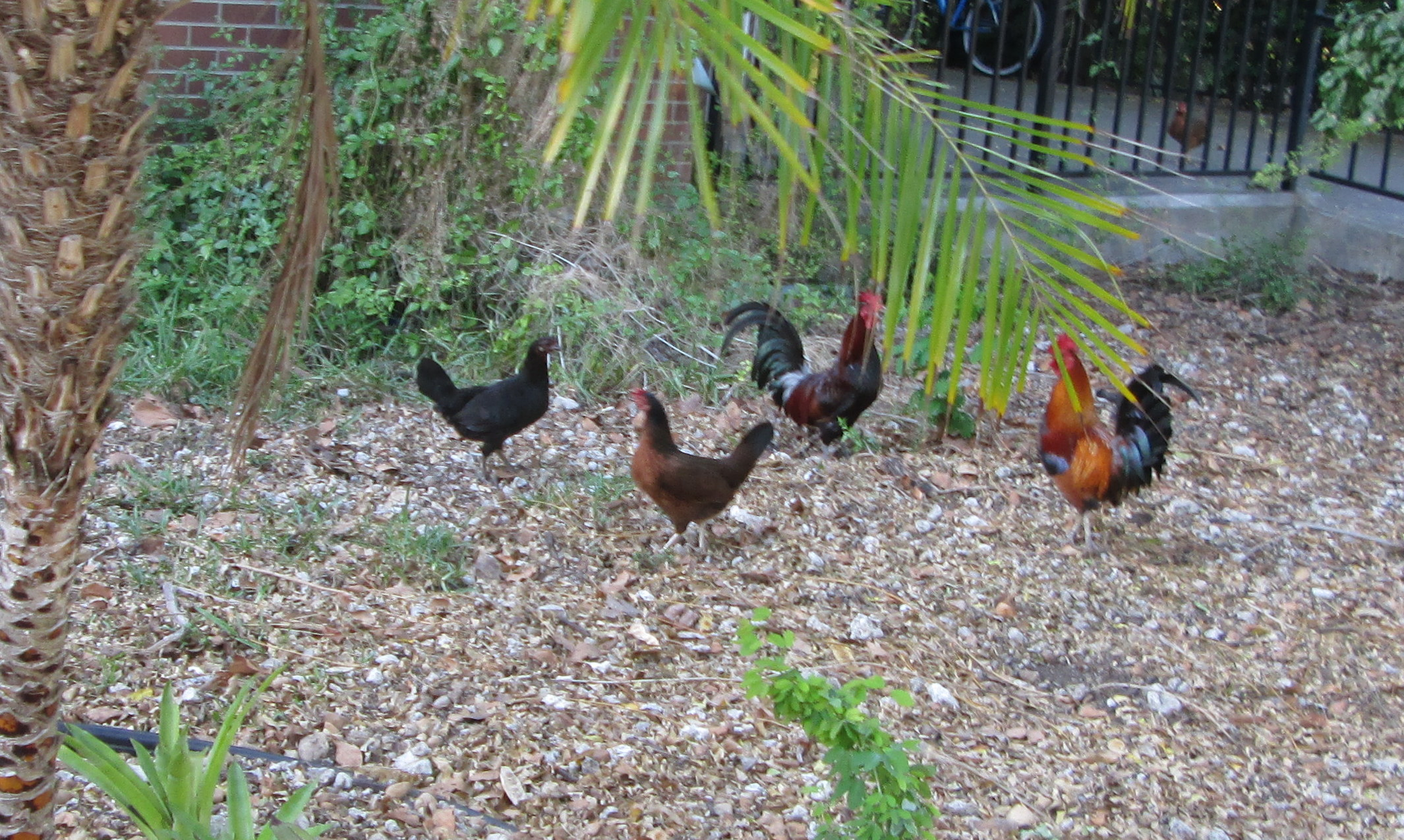... Chickens in Key West - Counting My ChickensCounting My Chickens